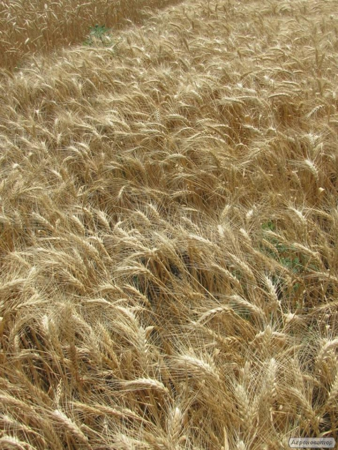 Семена пшеницы озимой - сорт Ермак. Элита и 1 репродукция