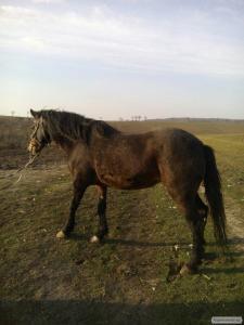 продаю здоровую рабочую лошадь