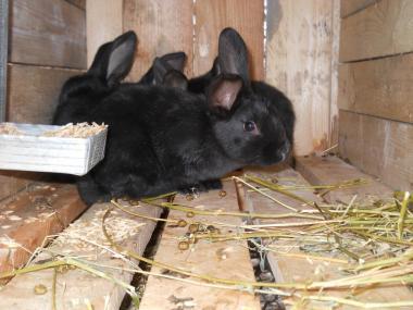 Кролики, кролі. Полтавське срібло молодняк.