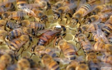 Бджоломатки Бакфаст (матки бакфаст)