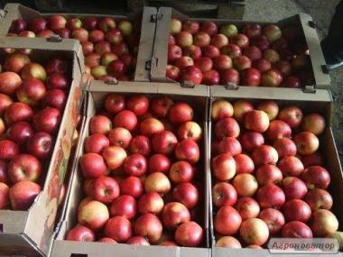 продам яблоки зимних сортов