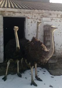 Продам страуса.  1 самца  1.6 мес.