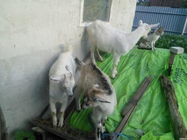 Продам козлят (самки)