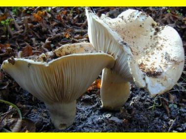 Міцелій Подгруздка білого / Груздь сухий (Russula delica)