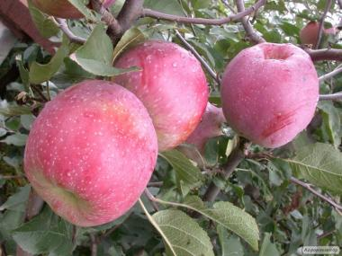 Продам Яблуко