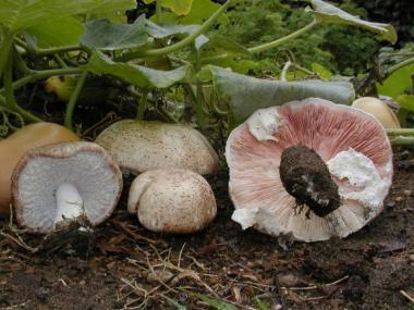 Мицелий Шампиньона миндального (Аgaricus subrufescens)
