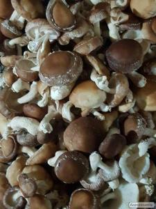 Продам грибы шиитаке, Shiitake, на постоянной основе