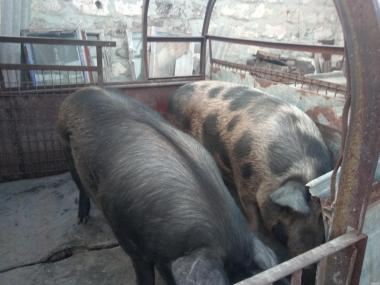 Продам двох свиней кабана и свиноматку