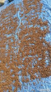Продам посадковий арахіс і чуфу (земляний мигдаль)