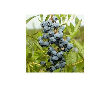 Саджанці лохини Рубель (Rubel) 3-річні