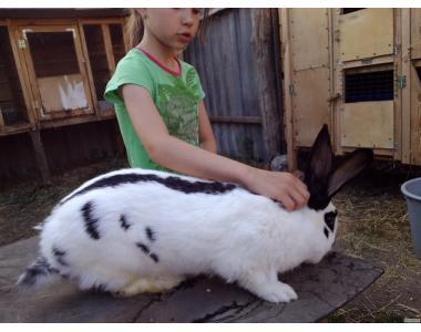 Племенная порода кроликов. Немецкий пестрый великан-Строкач