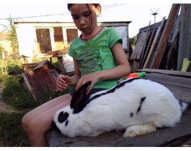 Племінна порода кроликів. Німецький строкатий велетень-Строкач