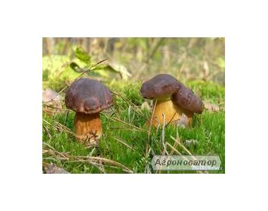 Польський гриб заморожений (є і цілий кубик)