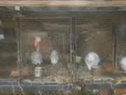 продам кролики породы термонської
