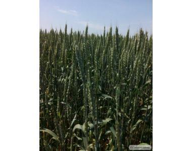 Семена озимой пшеницы Новокиевская (элита, СН-1)