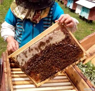 Продам Бджолопакети Карпатка!