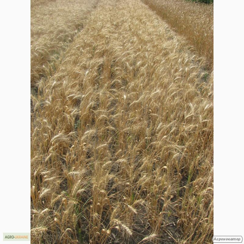Насіння озимої пшениці - сорт Колумбія. Еліта та 1 репродукція