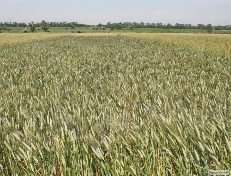 Насіння твердої пшениці озимої - сорт Босфор. Еліта та 1 репродукція
