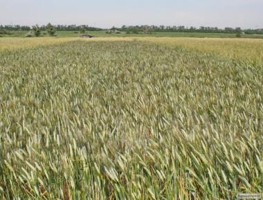 Семена твердой пшеницы  озимой - сорт Босфор. Элита и 1 репродукция
