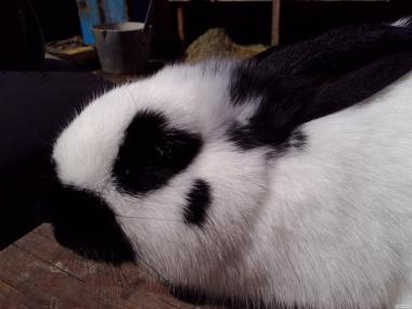 Продаються кролі порід: оберы, фландри, строкачи, каліфорнійці