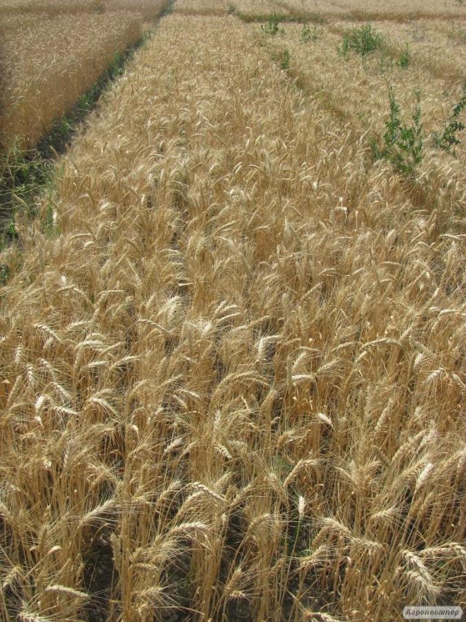 Семена пшеницы  озимой - сорт Конка. Элита и 1 репродукция