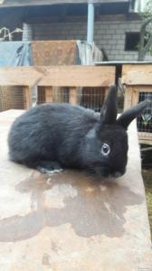 Продам кроликов породы Черно-огненные, Европейское серебро, Белый панон