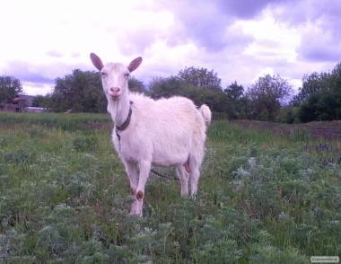 Продажа - дойные козы.