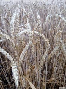 Семена канадской  озимой пшеницы  Farrel