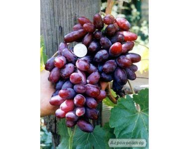 продам саженцы винограда изюминка и преображение