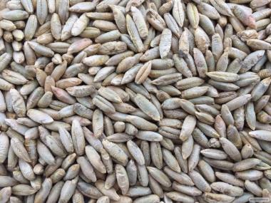 Продам високоякісне насіння жита озимого сорту «Синтетик-38» - еліта