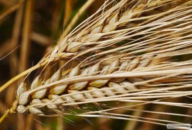 Семена вики озимой, люцерны, суданки и эспарцета