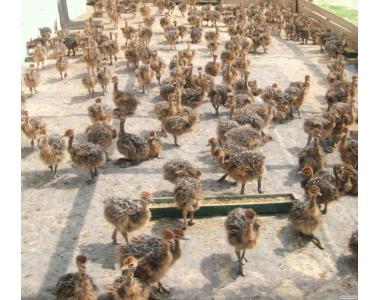 Продаю черные африканские страусы и страусята