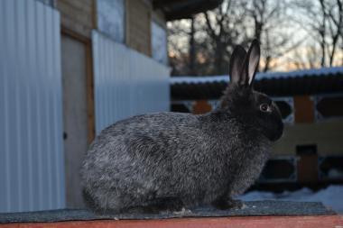 Продам кроликов Полтавское Серебро.Серебро.Серебристий