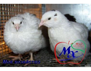 Інкубаційні яйця перепелів породи Техаський білий.