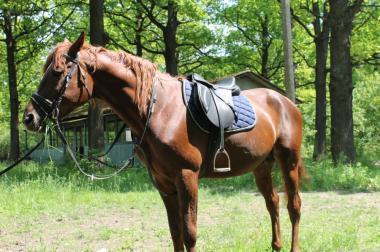 Продам в добрі руки  верхового коня