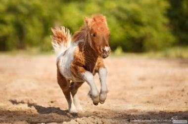 Карликовий продам поні