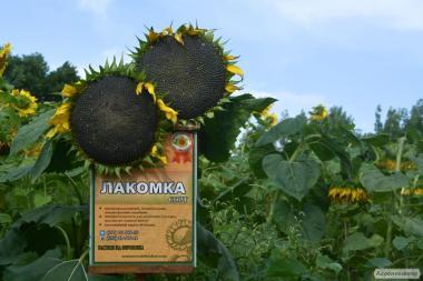 Семена подсолнечника сорт Лакомка