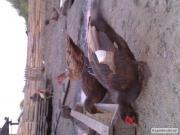 Мускусна качка червона 3-3.5 селех 5.5-6.5 кг
