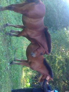 Продам 2 коней