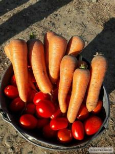 Продам морковь,сорт Преста. Отличного качества.