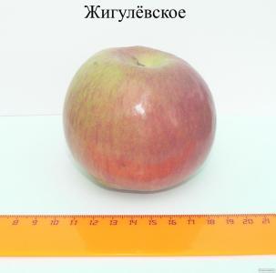Яблоки от производителя, урожай 2016 г.