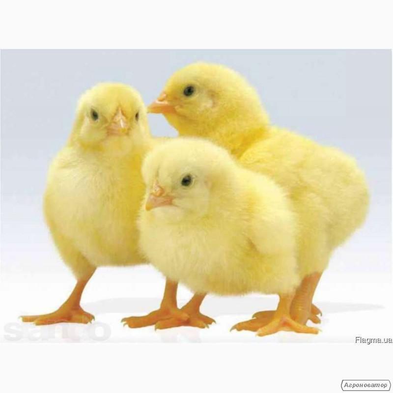 Реализуем цыплят породы несушка