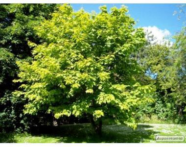 Клен, 1,5м, 2м, 3м, Белая Церковь, дерево, Украина