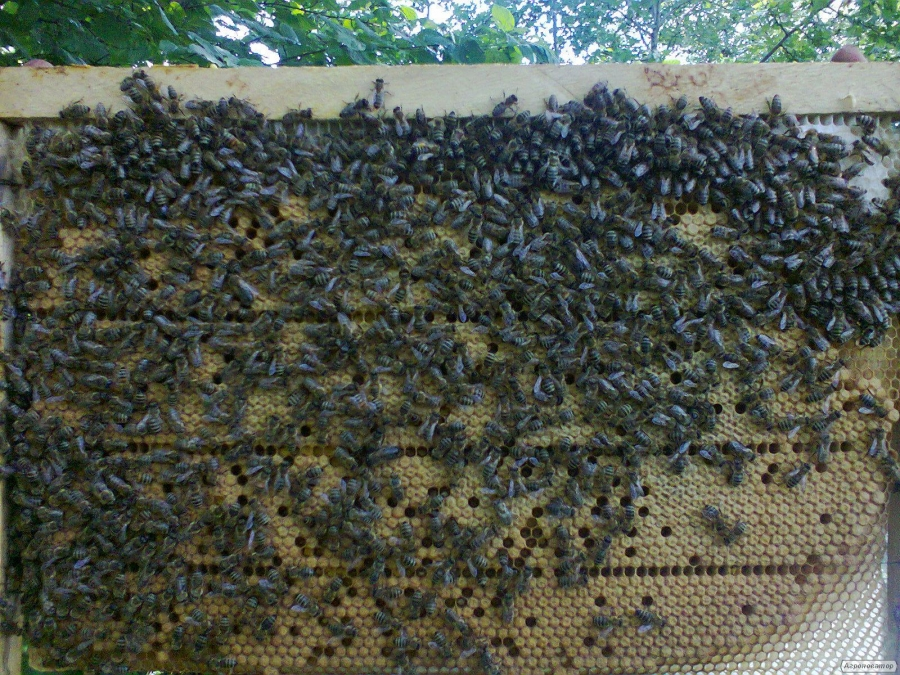 Продам пчелопакети карпатки