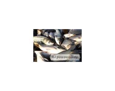 Зарибок коропа, товстолоба, білого амура і багато інших видів