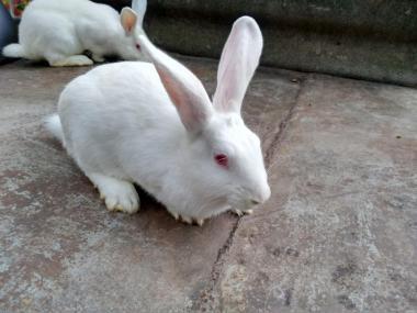 Кролики мясо-шкурковых пород