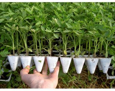Вырастим рассаду овощных культур на заказ