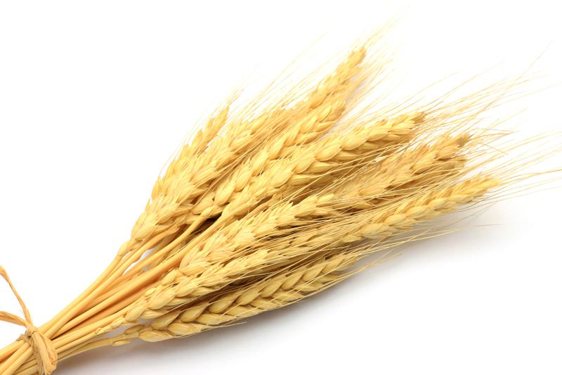 Озимая пшеница Новокиевская,  1Репр