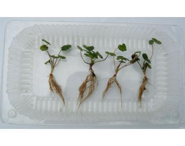 Неадаптовані саджанці in vitro суниці, гербери