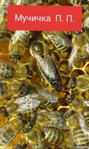 Продам 2018 плодотворные пчеломаткит130-150 грн Карпатской породы